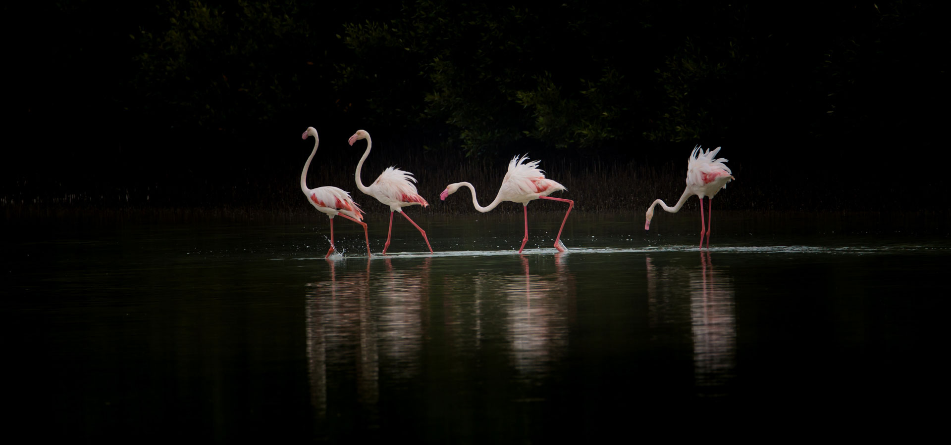 My best shot of the Flamingos of Middle East