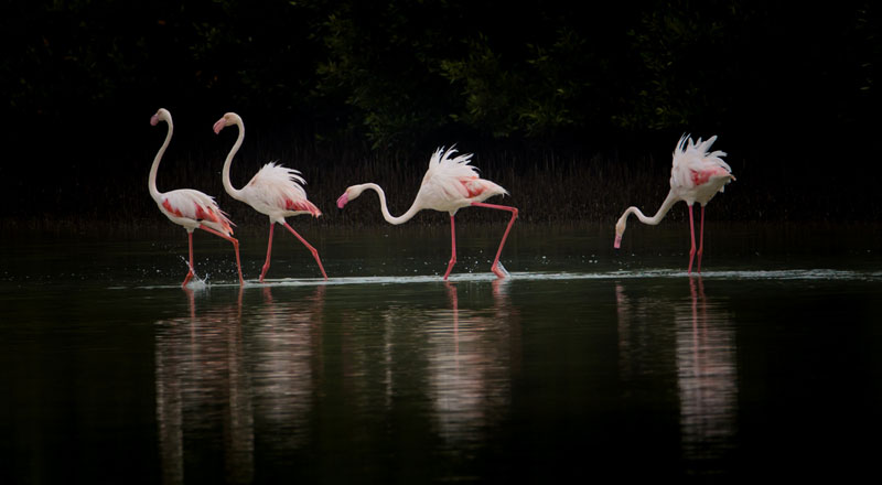 Flamingos of Middle East