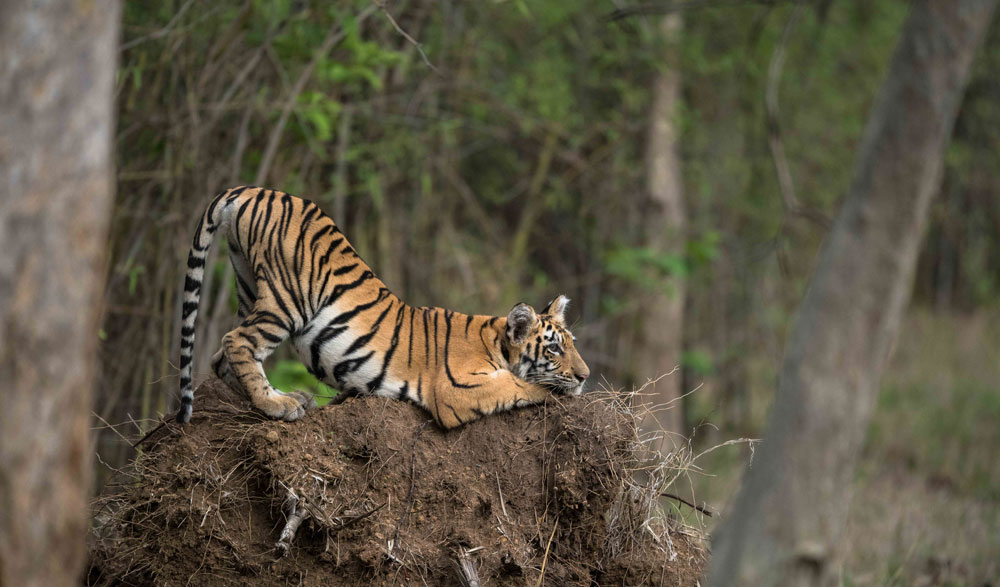 Tadoba Wildlife